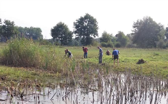 Drömling Gewässerpflege Schilf