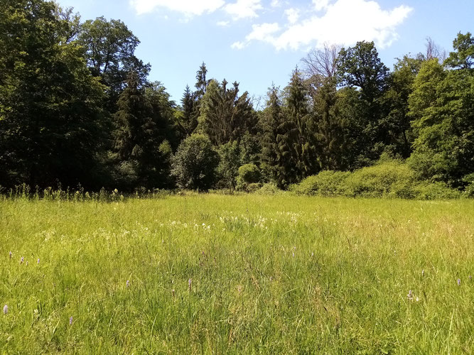 Pfeifengraswiese im FFH-Gebiet