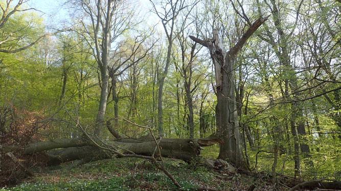 In Buchenwäldern mit Totholz  Spechtarten V48 - Laubwälder zwischen Braunschweig und Wolfsburg Mittelspecht Rotmilan