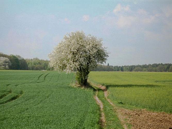 Birnbaum bei Steinfurth
