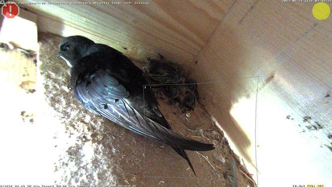 Bild: Ein aktuelles Bild vom 21.06. zeigt einen Altvogel und hinten in der Ecke die drei Jungvögel! Die Augen sind noch geschlossen, jedoch kann man die ersten Federn bereits erkennen ...