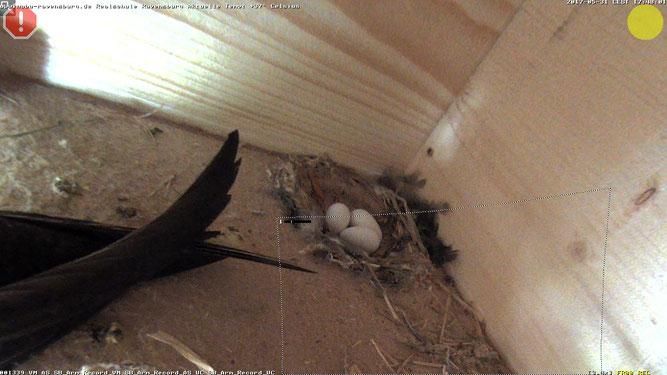 Bild: WebCam - Ein Bild vom 31.05.2017 - der Altvogel bewacht den Nesteingang und man kann deutlich die drei Eier im Nest erkennen.