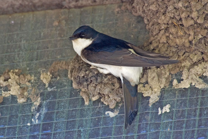 Foto: Klemens Karkow www.karkow.net ; Mehlschwalbe beim Nestbau