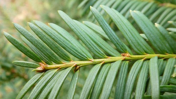 Abb. 3  Zweireihig angeordnete Nadeln mit deutlicher Mittelrippe. In den Achseln der Nadeln entwickeln sich neue Samenzapfen.