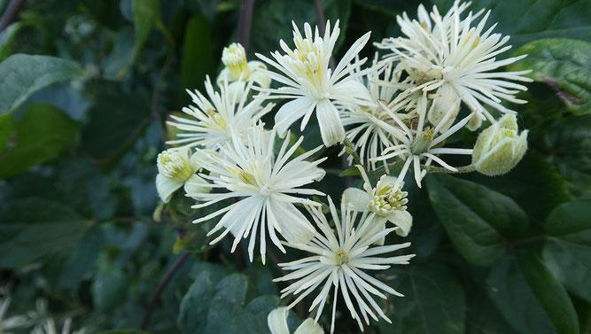 Abb. 1 Clematis-Blütenstand mit Blüten in verschiedenen Reifezuständen