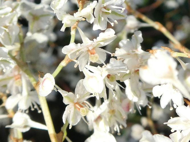 Blüten mit ihren geflügelten Blütenhüllblättern und orangebraunem Griffel