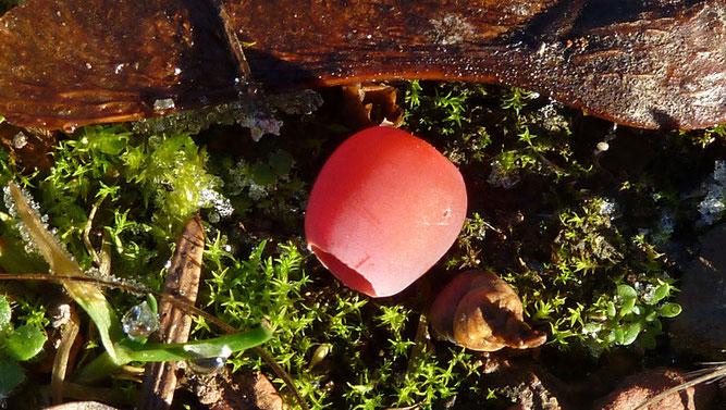 Abb. 2  Fleischiger Samenmantel eines reifen Samenzapfens