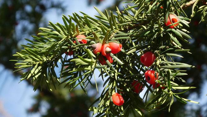 Abb. 6  Zweig mit Samenzapfen in unterschiedlich weit entwickelten Samenmänteln.