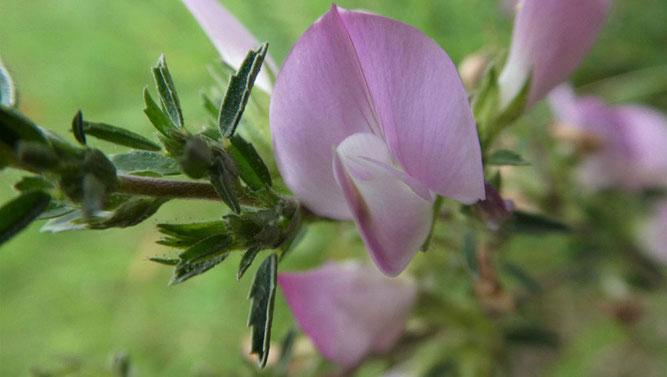 Blüte der Dornigen Hauhechel