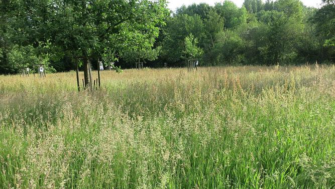 Gräser auf der NABU Obstwiese
