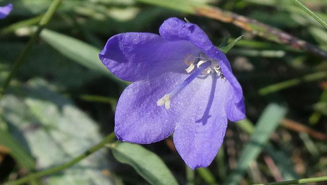 """Ältere Blüte in weiblicher Ausprägung mit voll entwickelter Narbe und bereits """"abgeernteten"""" Pollen. Die Staubgefäße liegen degeneriert am Grund der Blüte."""