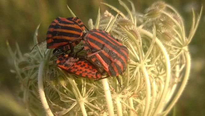 Wilde Möhre mit rot-schwarzen Streifenwanzen