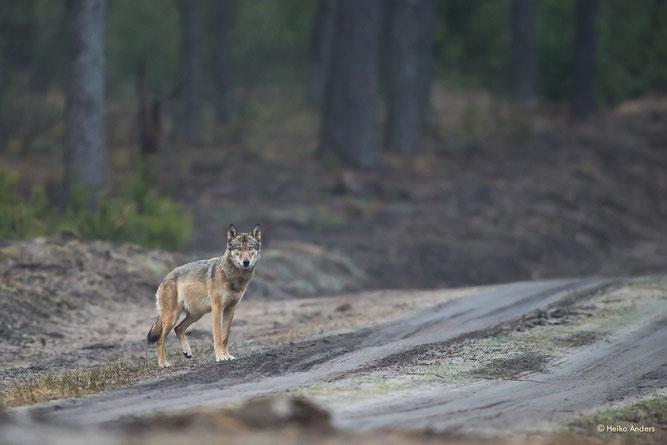 Wolf auf Forstweg; © Heiko Anders