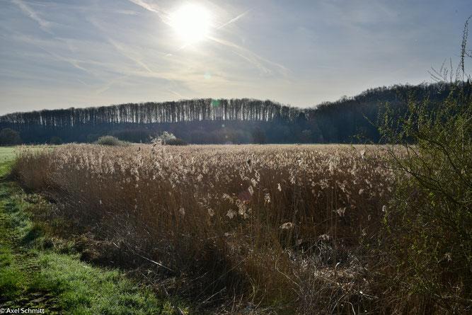 """16.03.2020 Das Röhricht steht gut im Naturschutzgebiet Nord. Der Anblick mit der Sonne über den """"Berggräben"""" mit dem charakteristischen Eichenbestand beeindruckt immer wieder."""