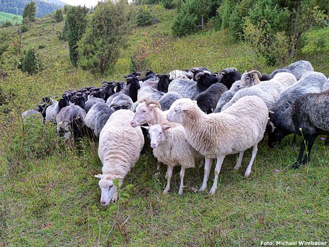 Vierbeinige Landschaftspfleger: Heidschnucken-Herde mit einigen weißen Moorschnucken (Foto: Michael Wimbauer)