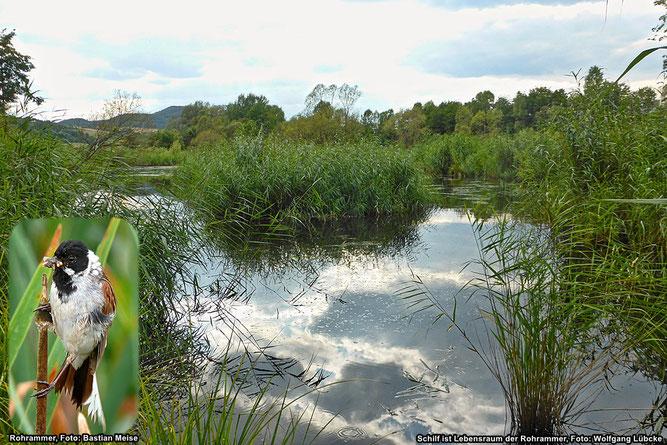 """Kreisweit steht nur im Naturschutzgebiet """"Krautwiese am Wesebach"""" Schilf im Wasser (Foto: Wolfgang Lübcke). Schilf ist Lebensraum der Rohrammer (Foto: Bastian Meise)"""