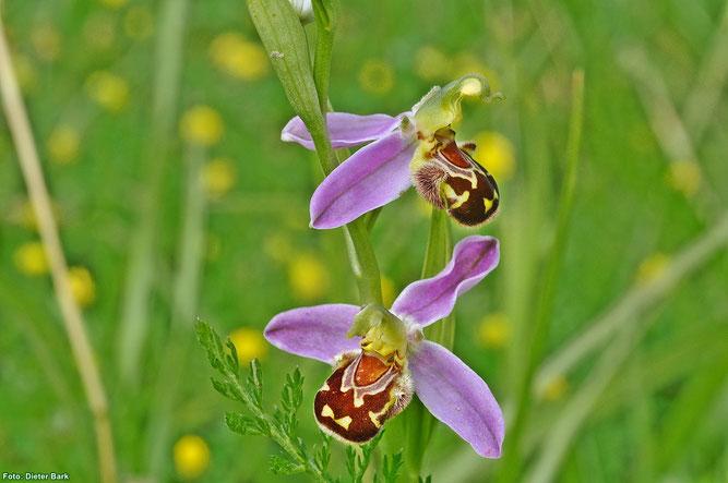 Die spät blühende Bienen-Ragwurz wurde in Edertal nur mit wenigen Exemplaren gefunden. (Foto: Dieter Bark)