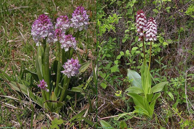 Links: Seinen Namen verdankt das Dreizähnige Knabenkraut der Form seiner Blütenblätter.   Rechts: Das Purpur-Knabenkraut ist eine der größten und schönsten heimischen Orchideen. Fotos: Dieter Bark