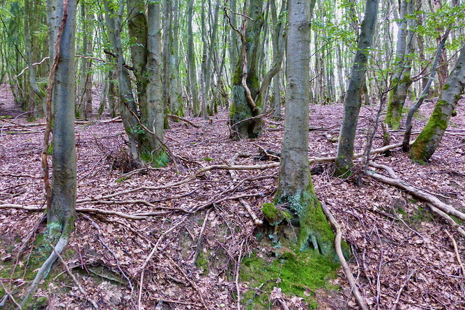 Der historische Niederwald diente der Gewinnung von Kohlholz. (Foto: Wolfgang Lübcke)