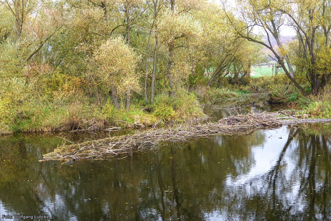 Bei dem Niedrigwasser der Eder kommt der 2020 gebaute Biberdamm bei Wega/Wellen gut zur Geltung. Foto: Wolfgang Lübcke