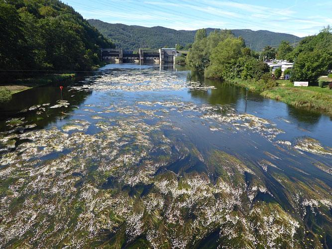Blühende Eder oberhalb der Affolderner Brücke (Foto: Sigrid Meier)