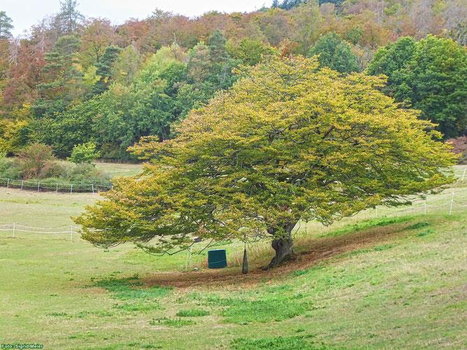 Hainbuche im Herbst (Foto: Sigrid Meier)