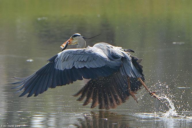 Graureiher sind regelmäßig an der Schwimmkaute zu beobachten. (Foto: Dieter Bark)