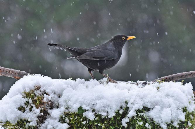 Positives Ergebnis bei der Wintervogelzählung an der Eder: Amsel, Kohlmeise und Rotkehlchen (Fotos: Dieter Bark)