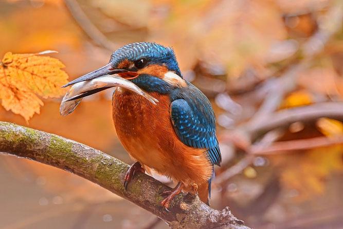 Auch ein Fischer an der Eder - der Eisvogel (Foto: Dieter Bark)