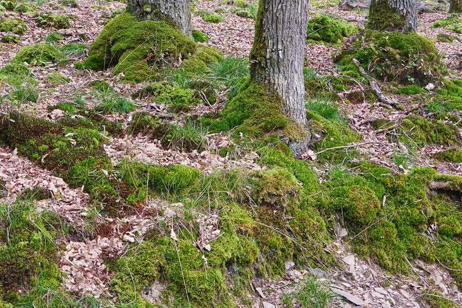 Der Wald des Mehler Holz weist viele Moospolster und -teppiche auf. (Foto: Wolfgang Lübcke)