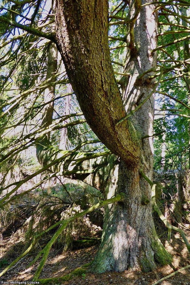 Die Kreuzfichte hat ihren Namen von den kreuzförmig vom Stamm abzweigenden dicken Nebenästen. (Foto: Wolfgang Lübcke)