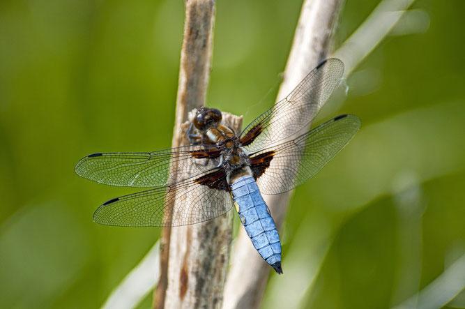 Nur die Plattbauch-Männchen weisen einen hellblauen Hinterleib auf. (Foto: Jens Freitag)