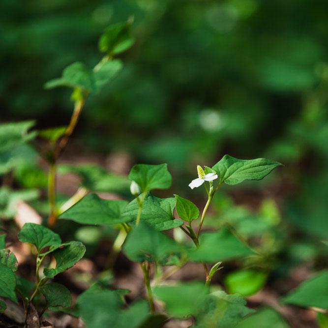 木陰の足元で白く光るドクダミの花びら