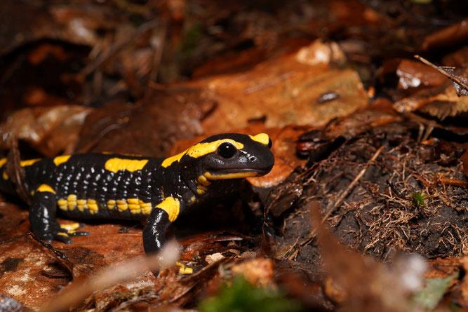 Salamandra salamandra, gesunder Feuersalamander