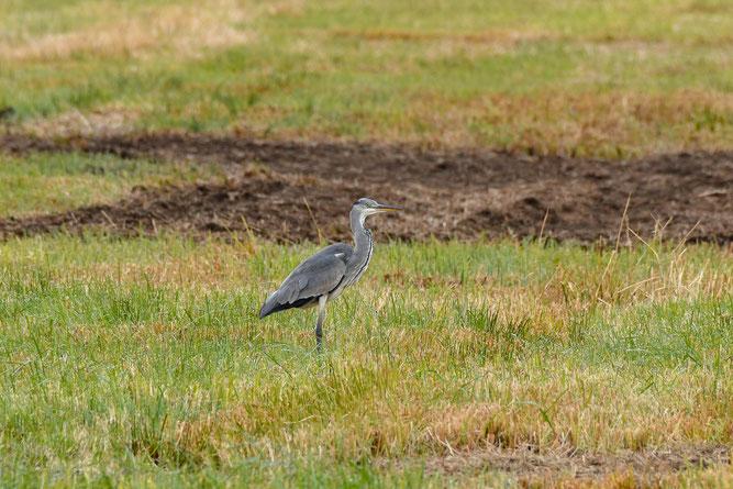 Graureiher schaut sich schon mal um, im neuen NABU-Schutzgebiet. Foto: Bernd Petri