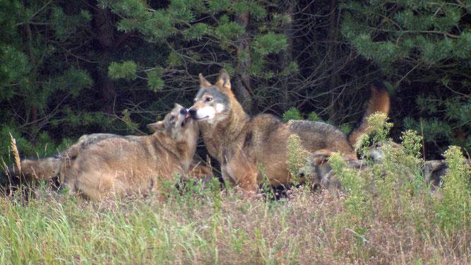 wolfsbegruessung-100~_v-ARDFotogalerie.jpg