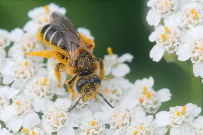 150102-nabu-wildbiene-schafgarbe-helge-may.jpeg