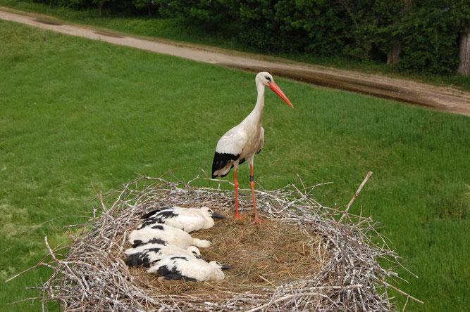 Altvogel mit vier Jungvögeln nach Beringung im Storchenhorst bei Bingen-Gaulsheim