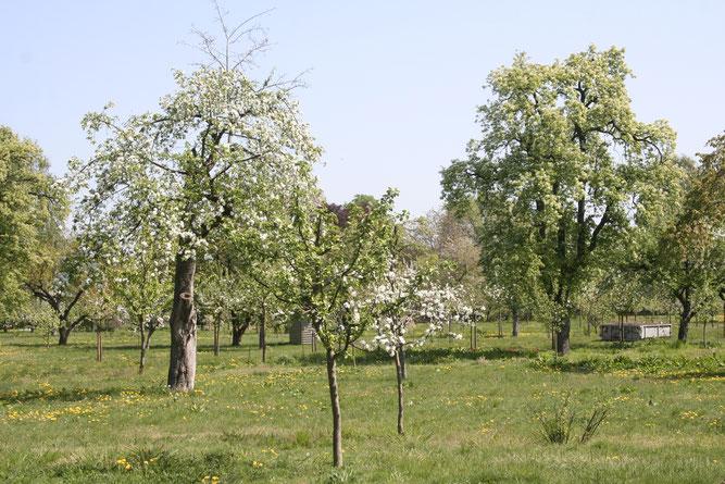 So müssten Bäume für Steinkäuze aussehen (Bild von Helge May)