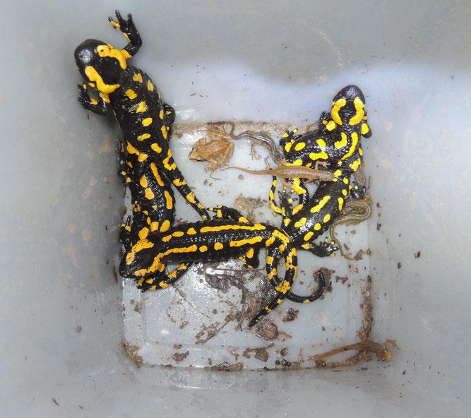 Die Amphibienarten werden erfasst, bestimmt und zum Laichgewässer begleitet. Hier zu sehen Salamander, Bergmolche, Grasfrosch und Teichmolche.  Foto: Cornelia Paukert