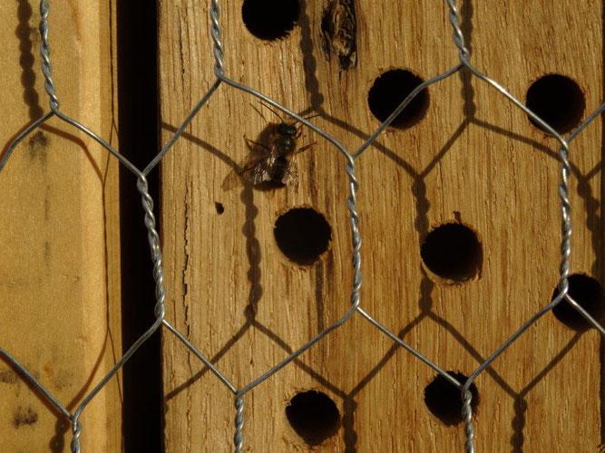 Biene am Insektenhotel in Neuenhagen