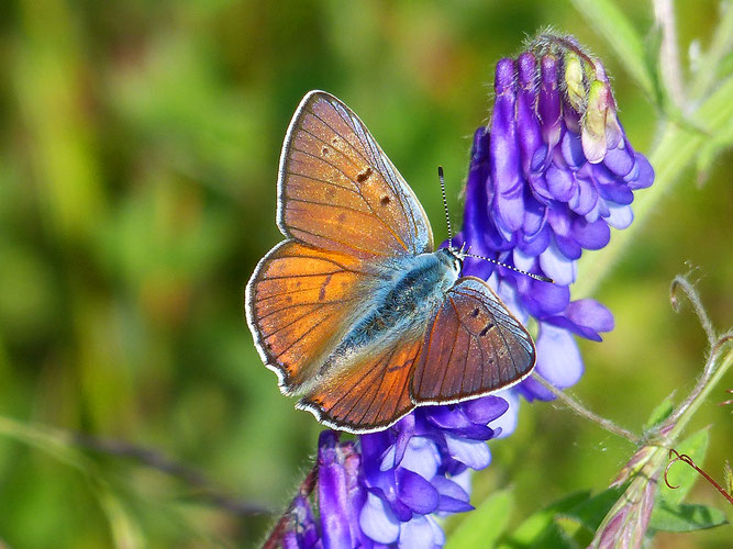 Violetter Feuerfalter Foto: Hartmut Kretschmer