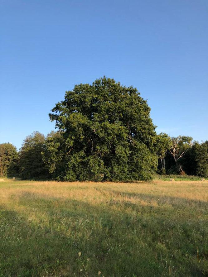 Naturdenkmal Eiche in Neuenhagen