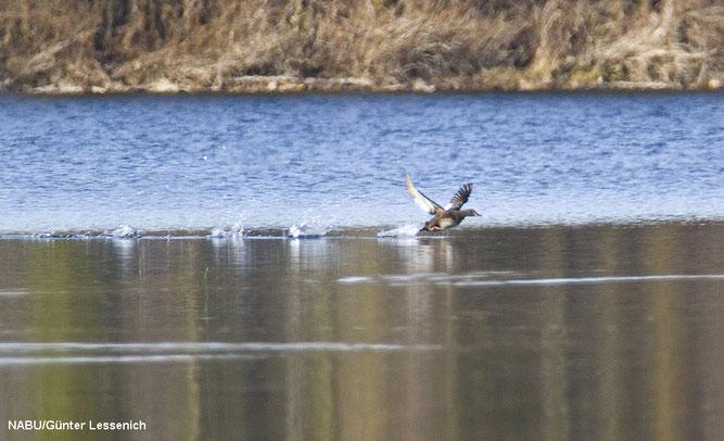 Foto: Die Samtente ein Wintergast am Neffelsee