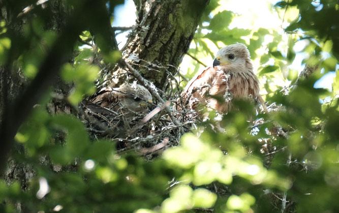 Jungvögel der Rotmilane Foto: Claudia Rapp-Lange