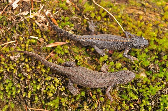 Oberes Tier Männchen, unteres Weibchen, beide in Landtracht.                       Foto: Guido Bennen