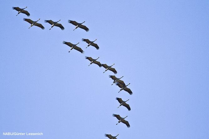 Foto: Für die Teilnehmer ein schönes Erlebnis, die Kraniche flogen über den Neffelsee