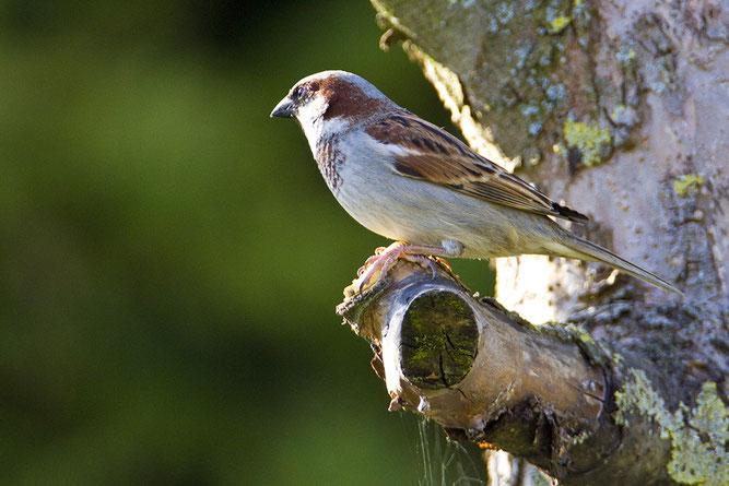Der Haussperling liegt unangefochten an der Spitze der häufisten Gartenvögel  Foto: NABU/Günter Lessenich