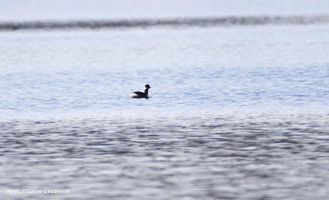 Foto: Ein Wintergast an den Zülpicher Seen, der Schwarzhalstaucher