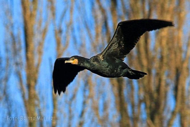 Kormoran in typischer Flügeltrocknungshaltung